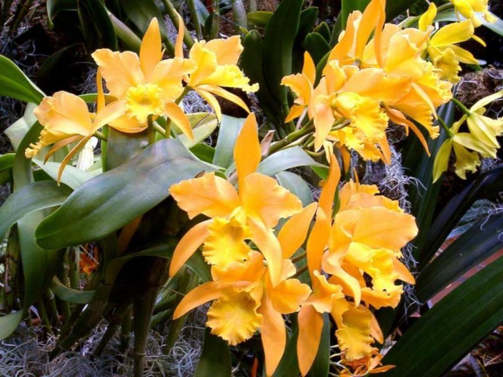 Orquídeas amarillas. Orquídeas amarillas. Orquídeas silvestres