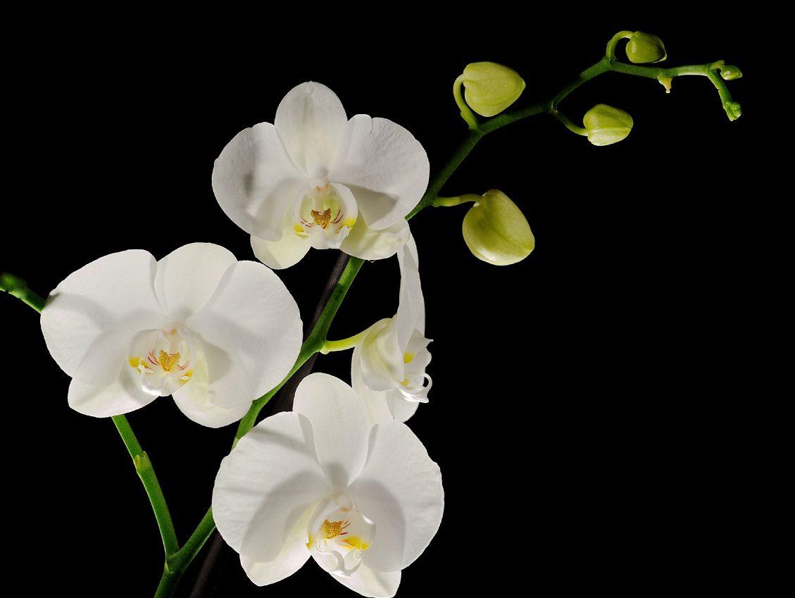 Image Gallery orquideas blancas